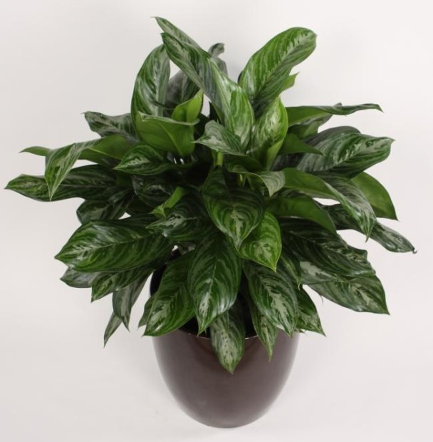 Aglaonema house indoor plants