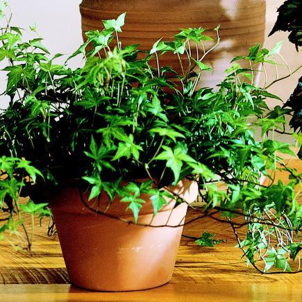 English Ivy Housplants