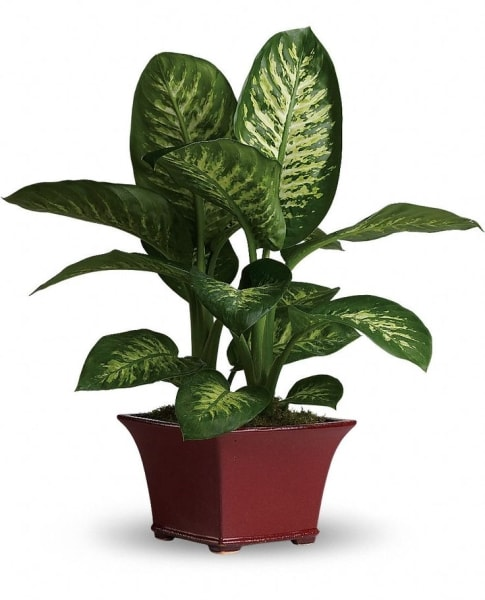Dieffenbachia indoor plants