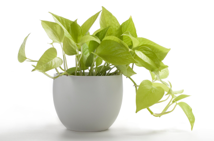 Golden Pothos house indoor plant