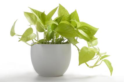 Golden Pothos house indoor plant