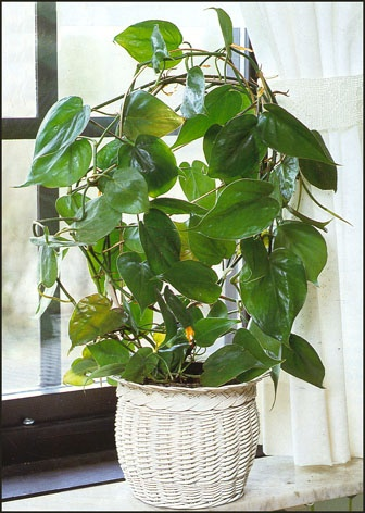 Heart leaf plants for indoor