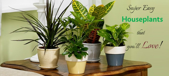 Houseplants-for-indoor Garden