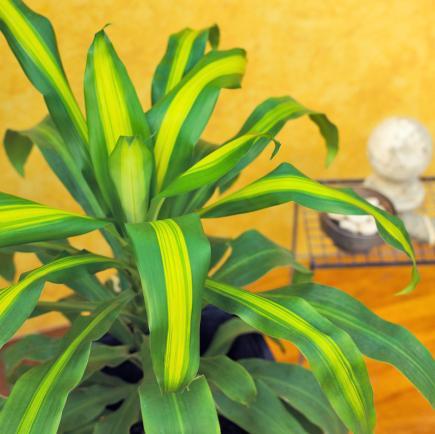 Dracena Indoor Plant