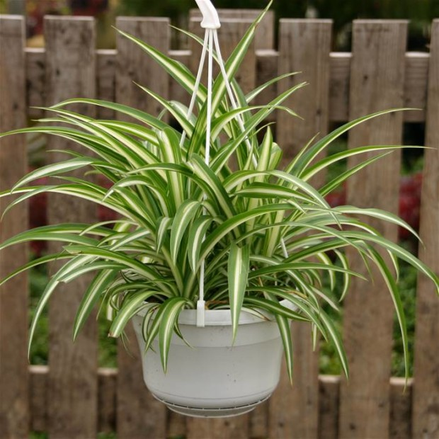 Spiderplant Care: 10 Super Easy House Plants To Grow Indoor