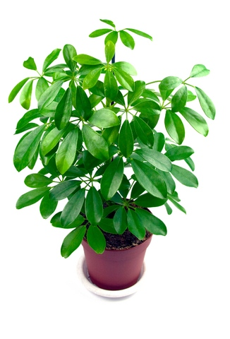 schefflera-indoor-air-clean plant