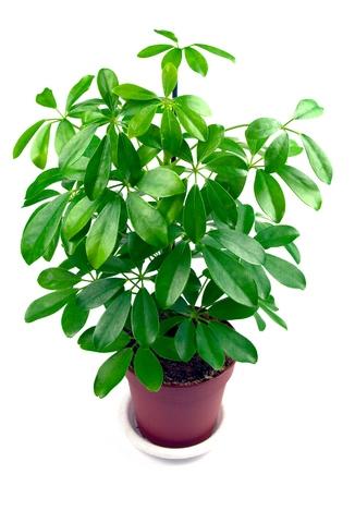 schefflera-indoor-air-clean plant