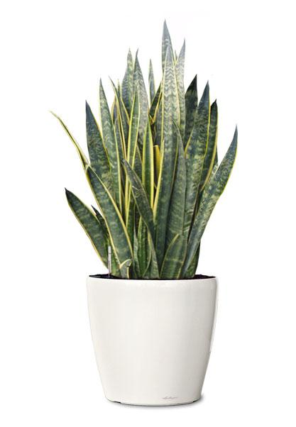 snake plant - indoor house plants