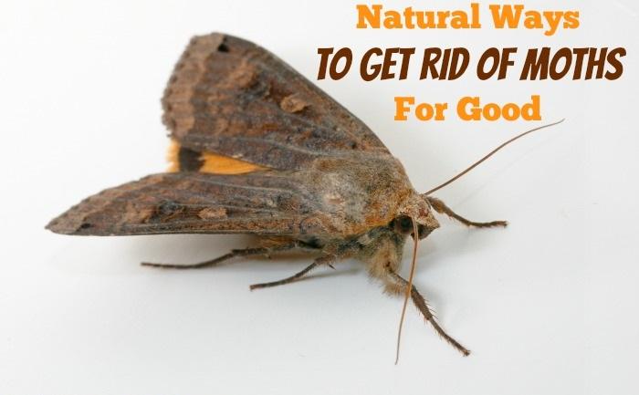 Get-Rid-Of-Moths-naturally