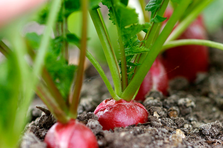Growing Radishes in pots and containers
