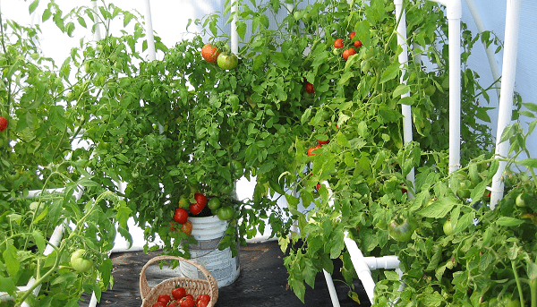 How to Grow Lots of Tomatoes indoor in pots