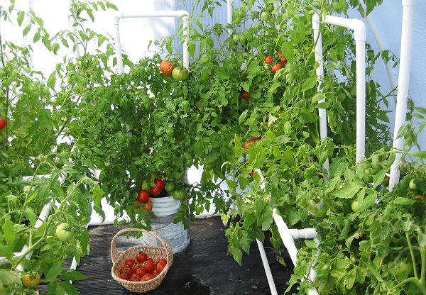 How to Grow Lots of Tomatoes indoor in pots