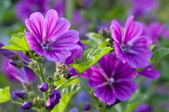 mallow-flowering-plant