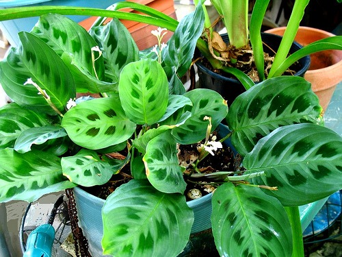 Prayer plants care