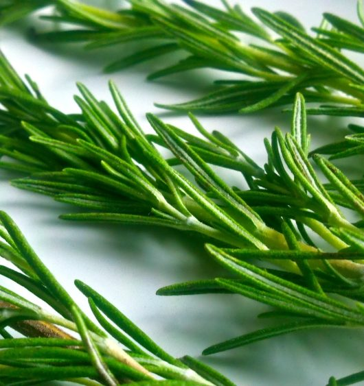 How to Harvest Rosemary