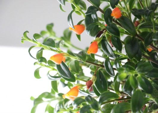 Care for Goldfish Plant