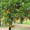 how to grow oranges in lawn
