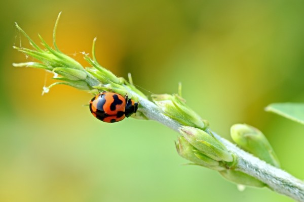 What do Ladybugs eat-in the Wild