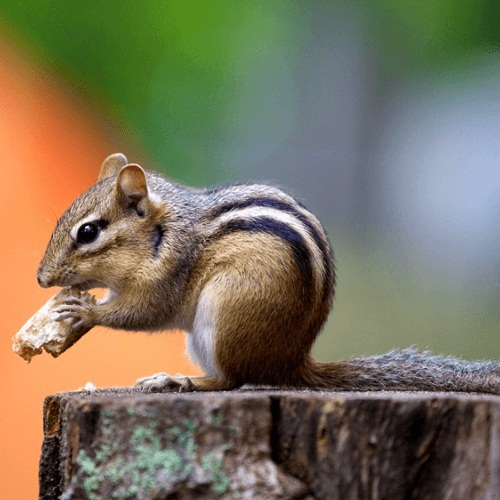 How To Get Rid Of Chipmunks Using Traps Repellents And