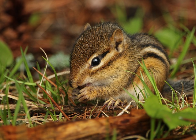 How To Keep Chipmunks Out Of Your Garden