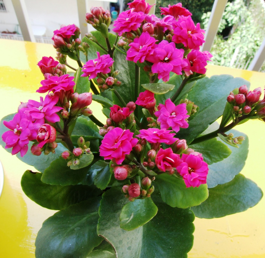 Kalanchoe Plant Care And Maintenance Indoor And Outdoor