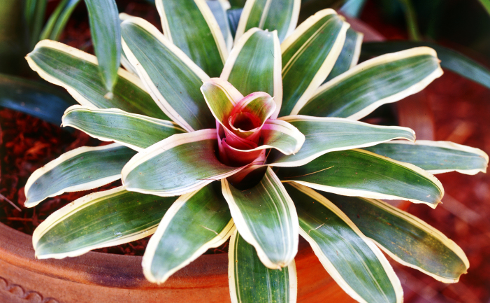 Bromeliad Plant And Flower Care Growing Indoor And Outdoor