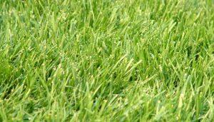 Centipede Grass