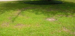 Centipede Grass Disease Picture