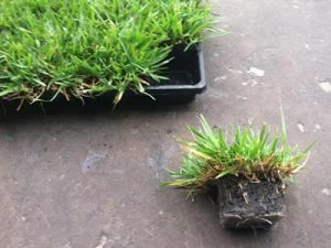 Centipede Grass Plugs