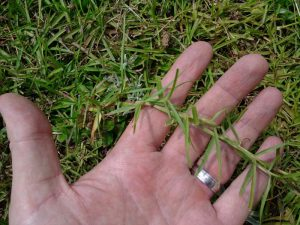 Planting Centipede Grass Runner