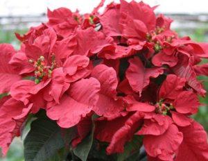 Carousel Red Poinsettia