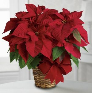 Classic Red Poinsettia Image