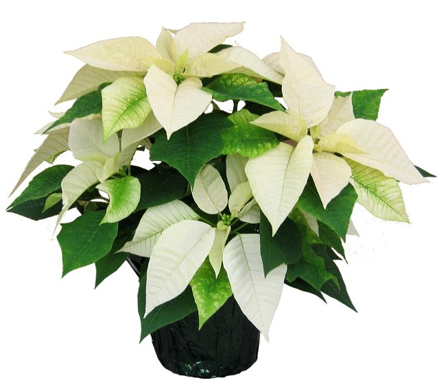 Poinsettia Plant Care Instructions With List Of Types Pictures