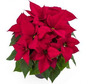 Euphorbia Aries RedPoinsettia Image