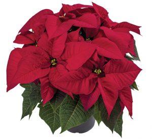 Euphorbia Astro Red Poinsettia