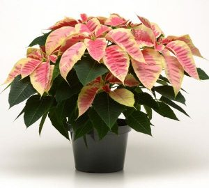 Euphorbia Christmas Beauty MarblePoinsettia