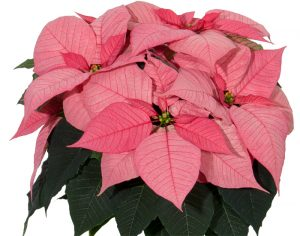 Euphorbia Christmas Glory PinkPoinsettia Image