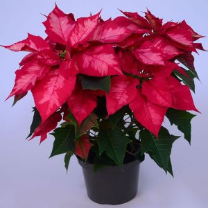 Ice Punch Poinsettia Picture