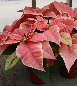 MonetPoinsettia Plant