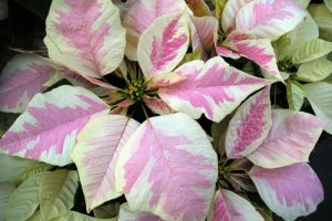 Peterstar Marble Poinsettia Image