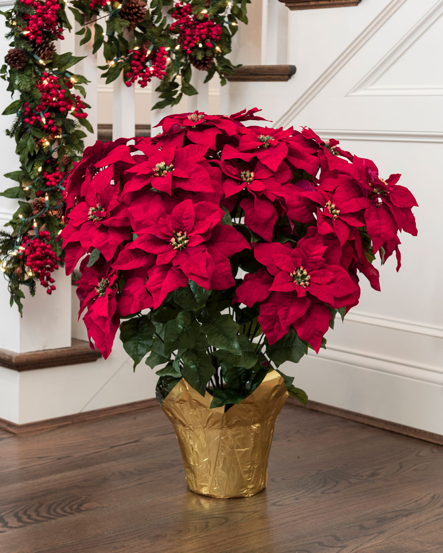 Poinsettia Plant Care Instructions With List Of Types