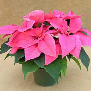 Polly's Pink Poinsettia