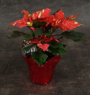 Red GlitterPoinsettia Plant