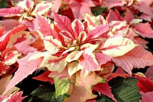 Strawberries and Cream Poinsettia Picture