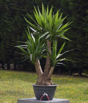 Types Of Yucca Plants Indoor