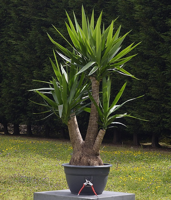 Outdoor Yucca Plant Care.Yucca Plant Types Care And Maintenance