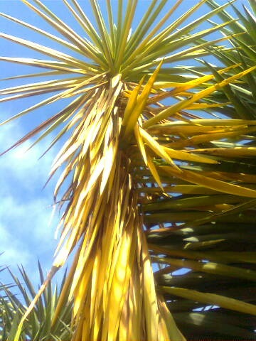 Yucca Plant Leaves Turning Yellow