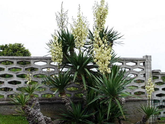 Yucca Plant Types, Care, and Maintenance