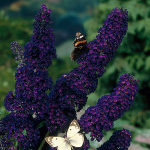 Black Knight Butterfly Bush Pictures