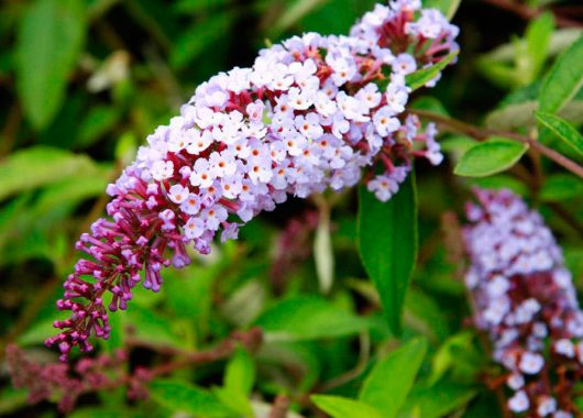 Blueberry Cobbler Butterfly Bush